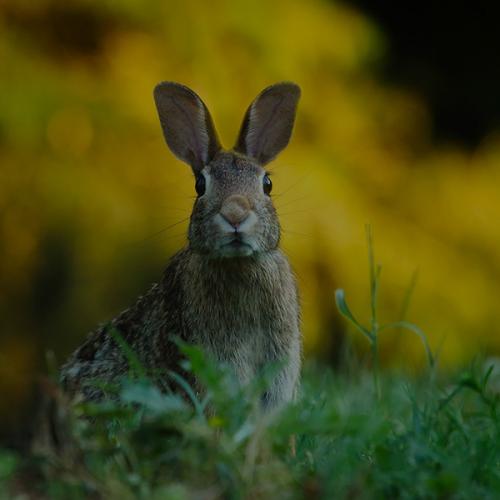 Kaninchen & Wild